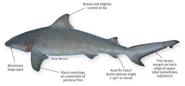 Grey reef shark vs bull shark - photo#25