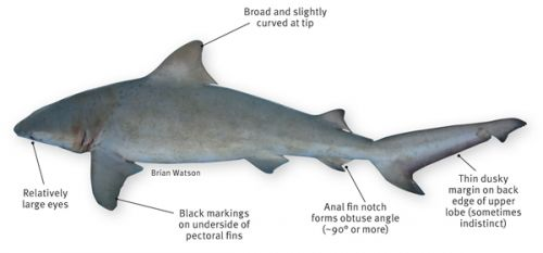 The bull shark has relatively large eyes and black markings on the underside of the pectoral fins. The first dorsal fin is broad and slightly curved at the tip and the anal fin notch forms an obtuse angle