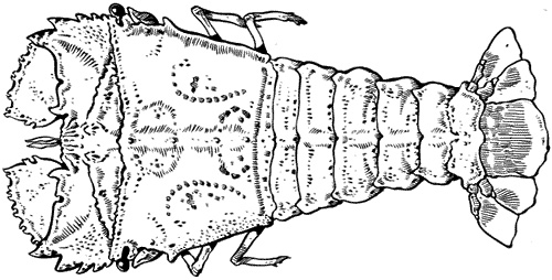 Drawing of a Moreton Bay bug