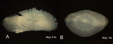 Magnified otoliths of 3 species of fish demonstrating the variability in shape between species