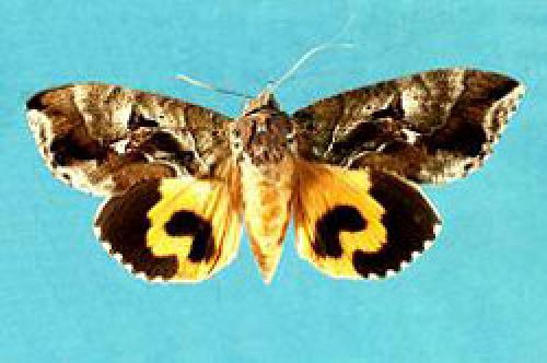 Adult moth (E. fullonia) pinned