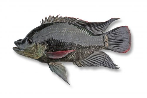 Tilapia Mozambique mouthbrooder: declared noxious fish