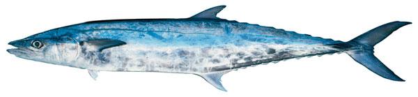 School mackerel (Scomberomorus queenslandicus)