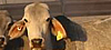 Queensland beef cattle