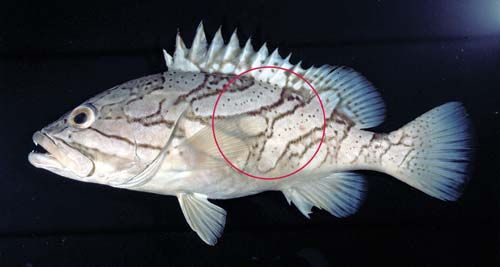 Photo of an Oblique-banded groper