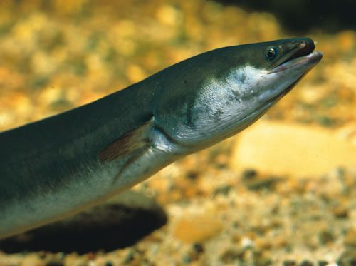 image of shortfinned eel-Fish identification