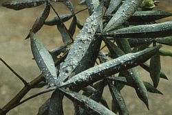 Spiralling whitefly pest damage