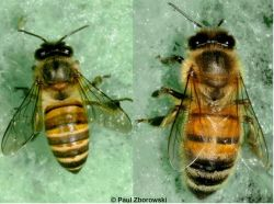 Left: Apis cerana, the Asian honey bee. Right: Apis mellifera, the European honey bee. <em>(Image: Paul Zborowski)</em>