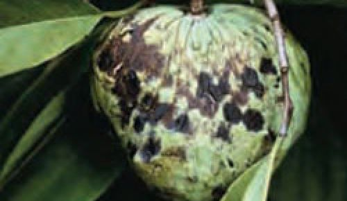 Infected fruit