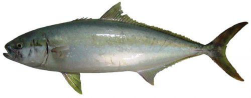 Yellowtail kingfish (Seriola lalandi)