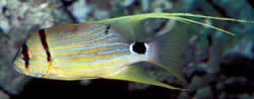 Photo of a juvenile sailfin snapper