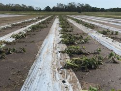 Disaster recovery for crop farming