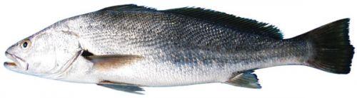 Mulloway (Argyrosomus japonicus)