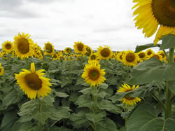 sunflowers, closeup photo, Felton