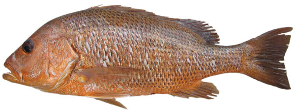 Golden snapper (Lutjanus johnii)