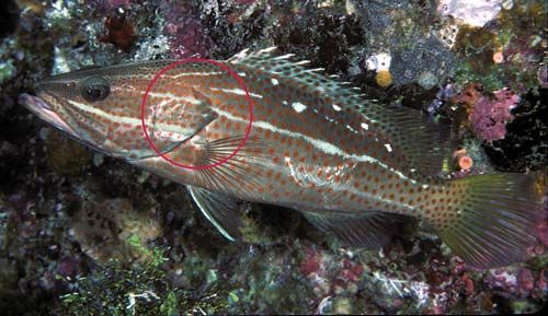Photo of a White-lined rockcod