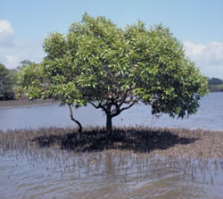 Photograph of a grey mangrove