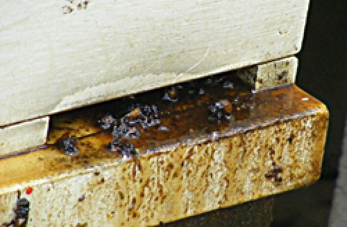Slimefrom a bee hive destroyed by small hive beetles