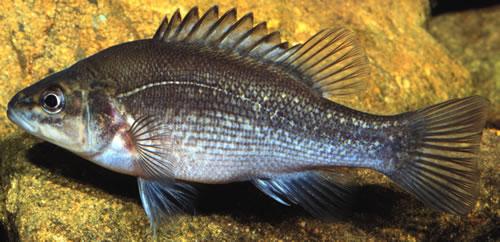 Bloomfield River cod