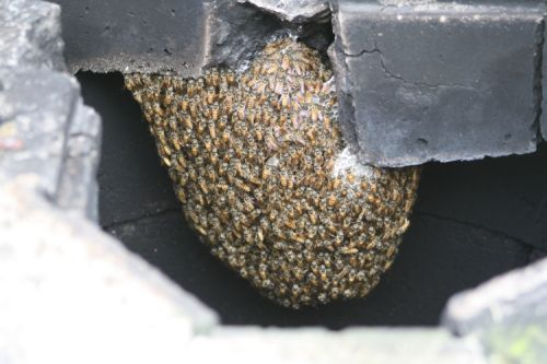Asian honey bee nest