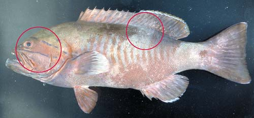 Photo of a Thin spine rockcod