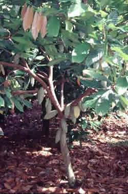 Cocoa tree pruned to a single jorquette