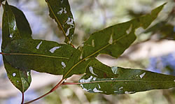 An image showing lerps on spotted gum leaves